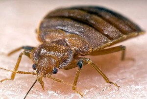 Bed Bugs in Montcair
