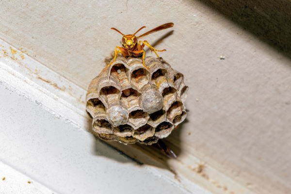 Wasp Nest Removal in New Jersey