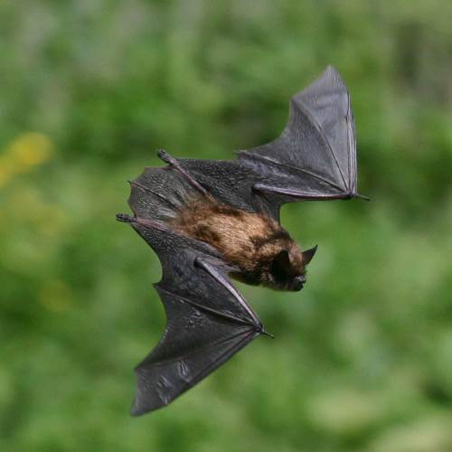 Bat Removal in Washington