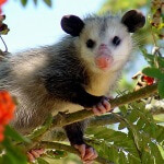 Jack Russell Wildlife Control - Opossum Removal