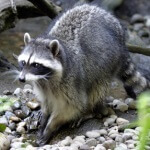 Jack Russell Wildlife Control - Raccoon Removal