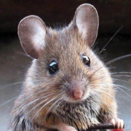Mouse Control or Mice Control in Washington