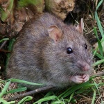 Rat Control in Washington